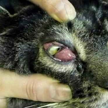 Kocúrik Mio- pokročilá infekcia oka